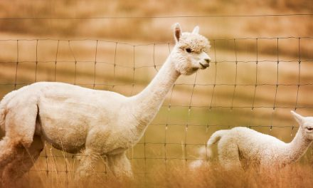 Alpaca shearing season flat-out for Shane