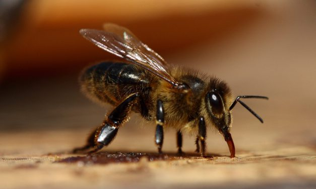Australian honey abuzz with high-value antibacterial activity